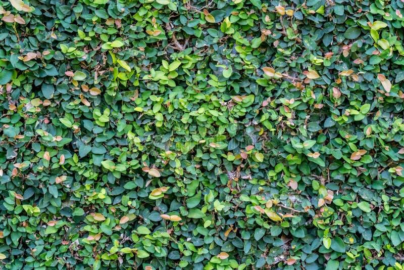 Стена листьев стоковое изображение rf