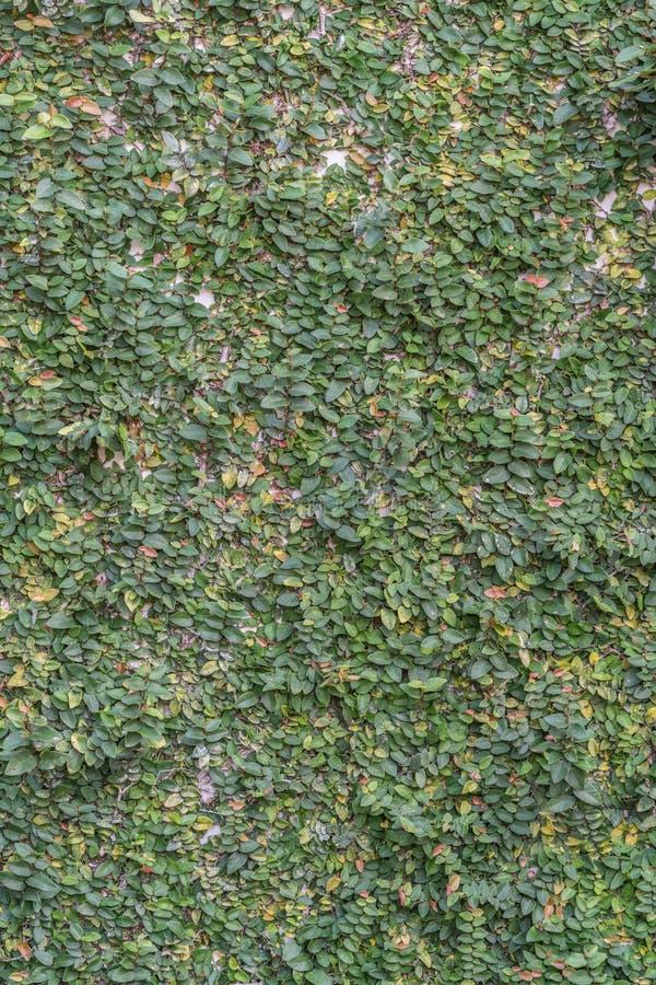 Стена листьев стоковые фотографии rf