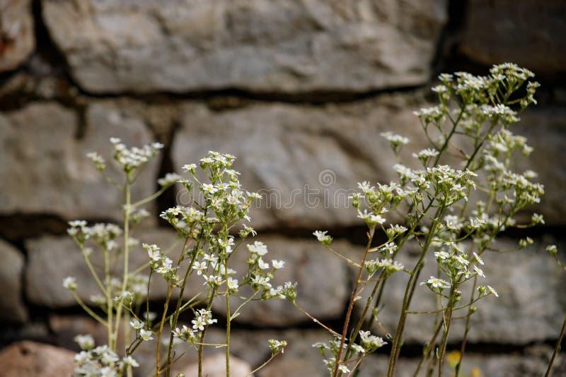 Стена камня вышитая с заводом с небольшой предпосылкой белых цветков стоковое изображение