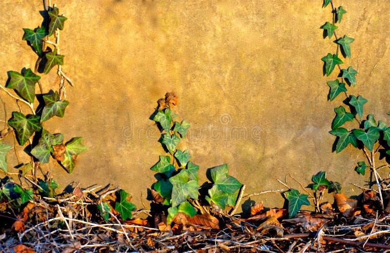 Стена покрытая плющом стоковая фотография