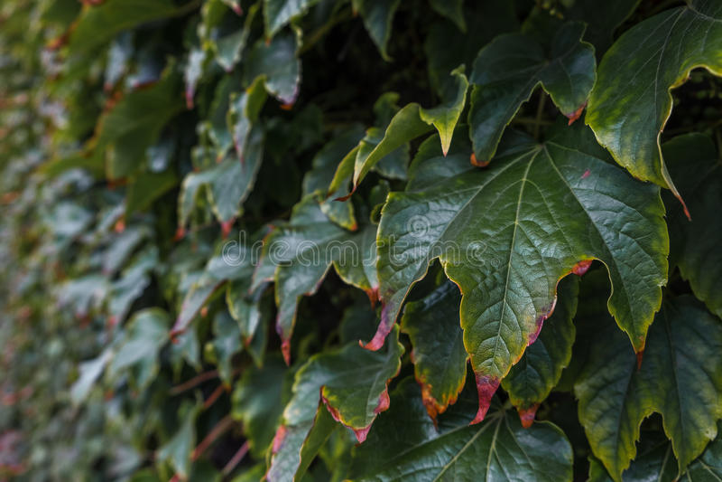 Стена покрыта с листьями виноградины осени стоковая фотография