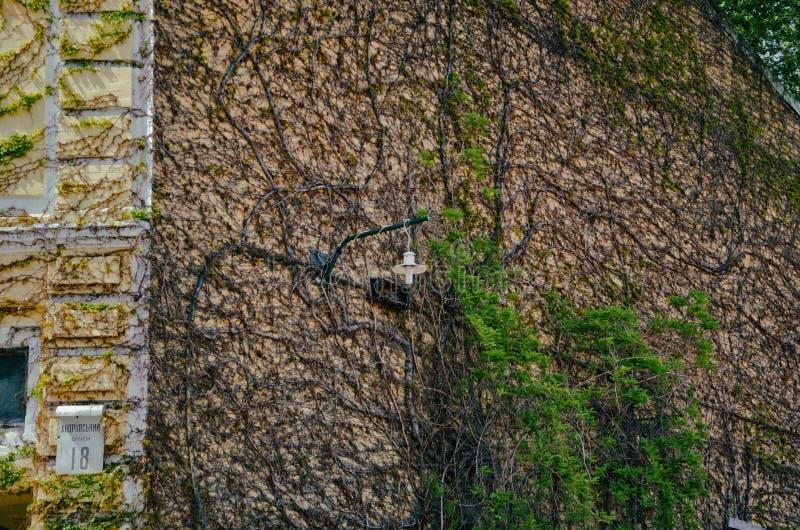 Стена плюща старого дома стоковое изображение