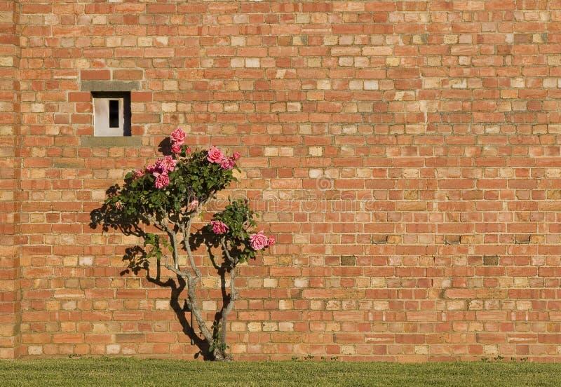 Download стена роз кирпича розовая красная Стоковое Изображение - изображение насчитывающей наведенное, дом: 6862875