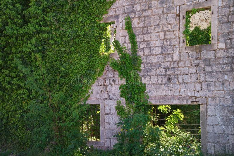 Стена старого загубленного здания перерастанного с зеленым плющом стоковое фото rf
