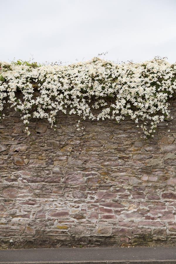 Стена цветков растущая излишек старая ирландская каменная стоковая фотография rf