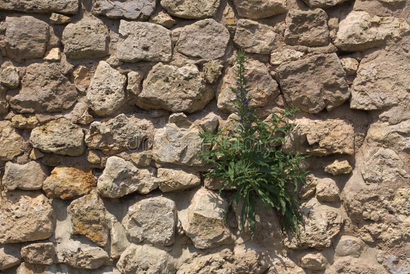 Стена Fieldstone с Blueweed стоковое фото rf