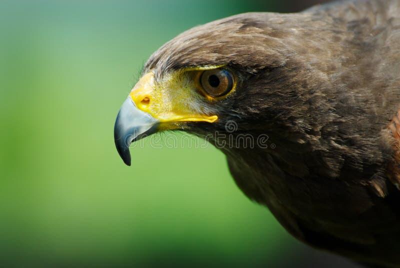 степь орла стоковое фото rf