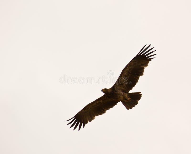 степь полета орла стоковое изображение rf