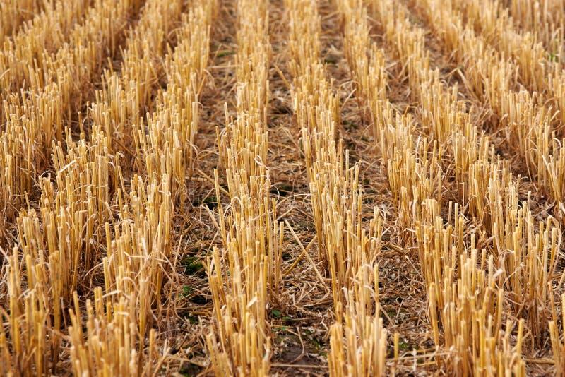 Стерня сжала пшеничное поле стоковое фото rf