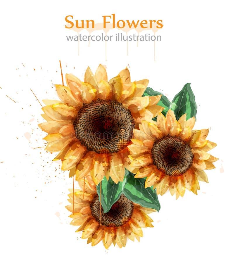 Стиль акварели солнцецветов изолированный на белом векторе Красивые флористические шаблоны оформления иллюстрация вектора