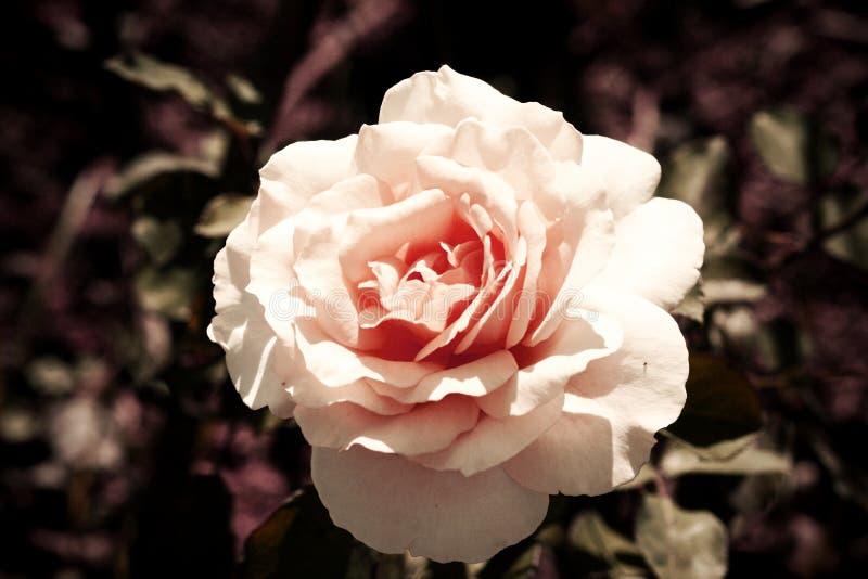 Стиль красивой свежей розы ретро стоковые изображения rf