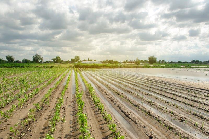 Стихийное бедствие на ферме Затопленное поле с саженцами перца и лук-порея Проливной дождь и затоплять Риски потери сбора стоковая фотография rf
