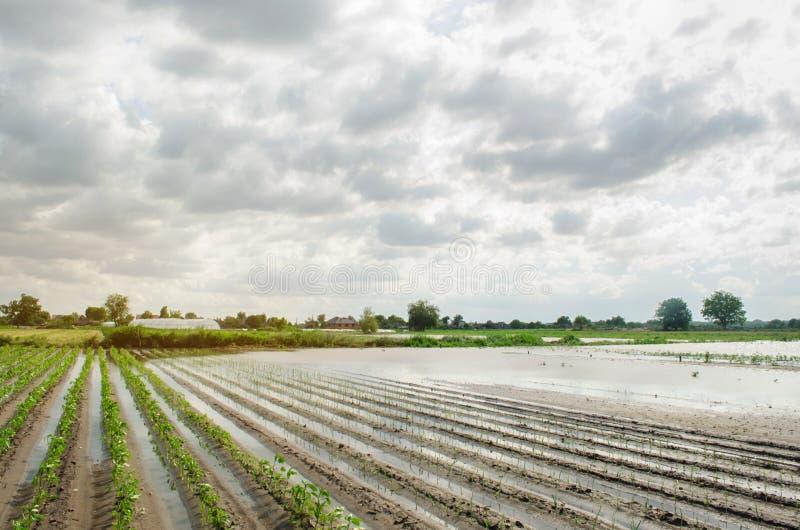 Стихийное бедствие на ферме Затопленное поле с саженцами перца и лук-порея Проливной дождь и затоплять Риски потери сбора стоковые изображения