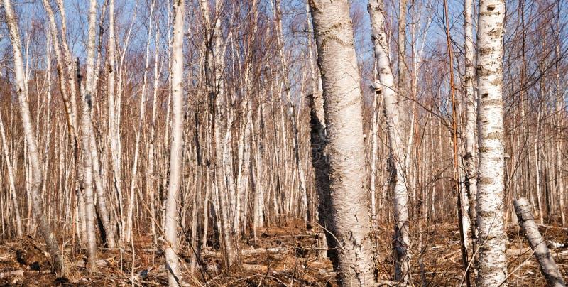 Стойка деревьев в зиме стоковая фотография rf