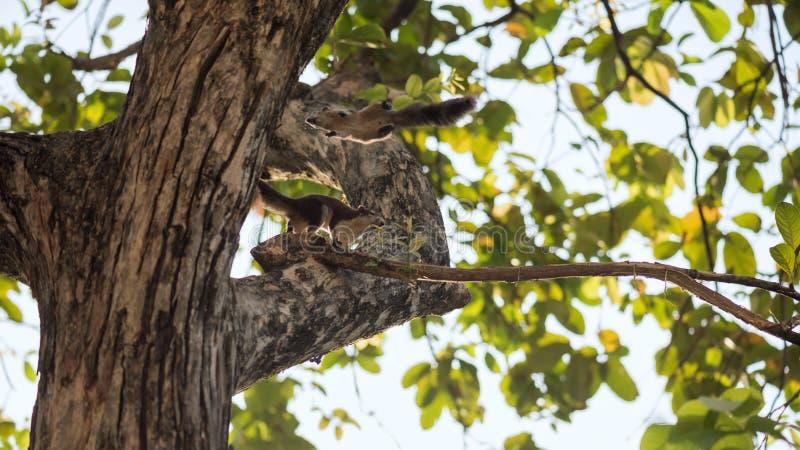 Стойка и скачка белки Брауна на дереве стоковое изображение