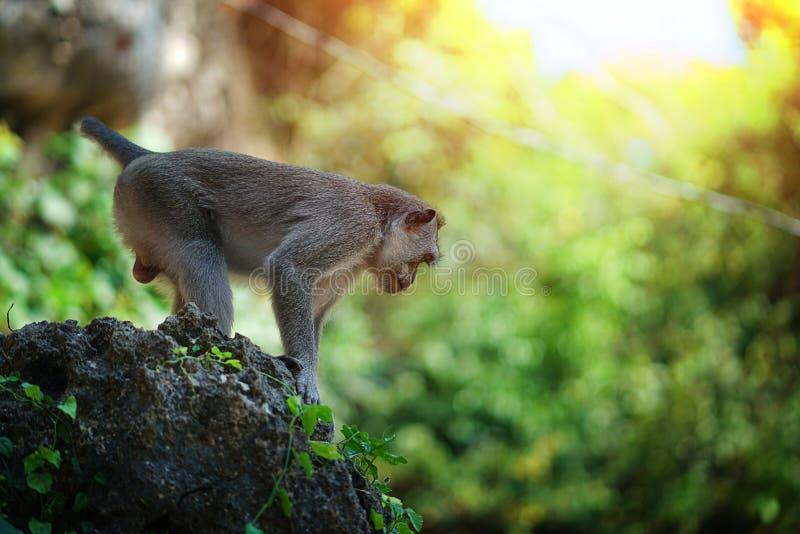 Стойка обезьяны на большом камне подготавливает поскакать, Бали Индонезия стоковое изображение