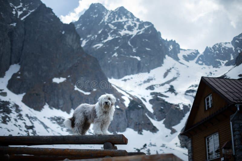 Стойки белой собаки bobtail на куске дерева Любимец в горах стоковое изображение rf