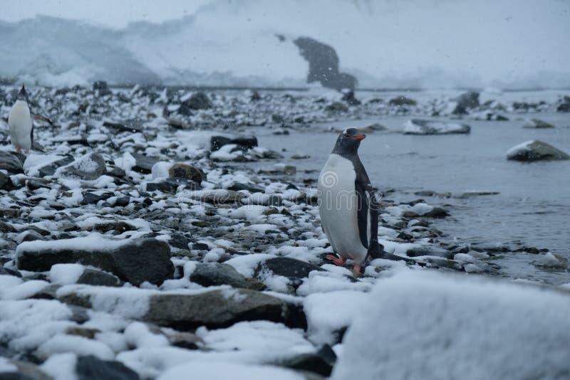 Стойки пингвинов Антарктики Gentoo на снежном скалистом пляже после охот стоковые изображения