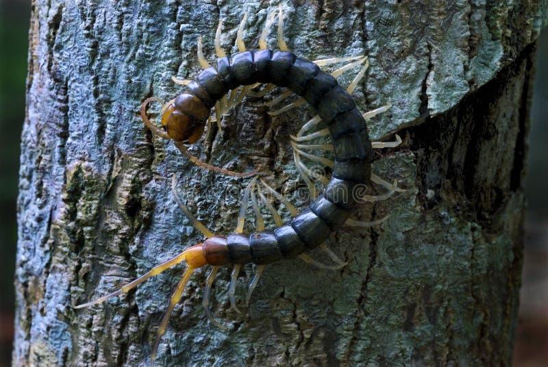 Стоножка на коре дерева стоковые фотографии rf