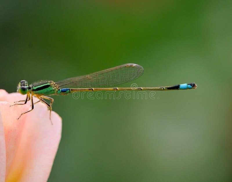 Стоп Dragonflies в розах стоковые изображения rf