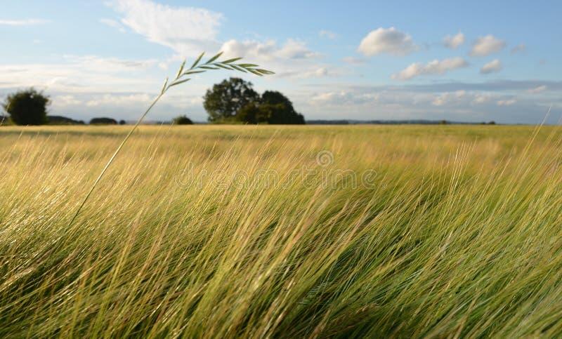 Сторновка травы над полем ячменя стоковые изображения rf