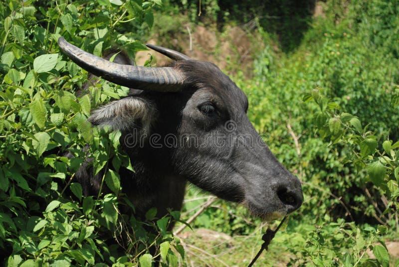Сторона азиатского буйвола национальное животное Филиппин стоковое изображение rf