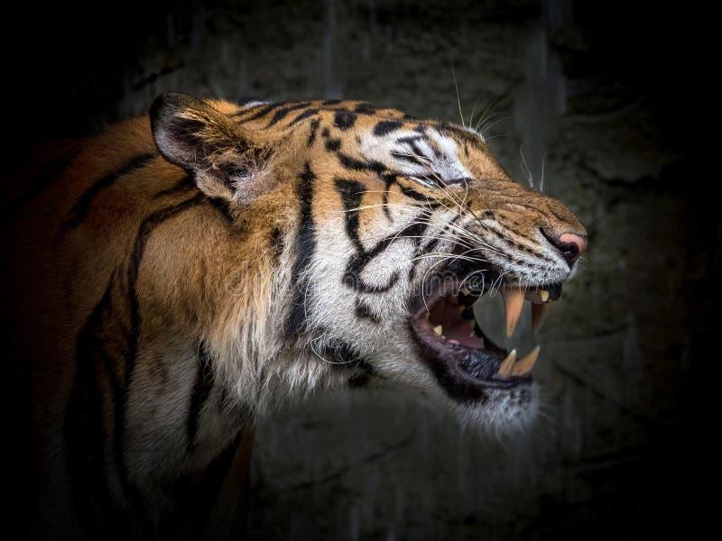 Сторона азиатского тигра стоковая фотография rf