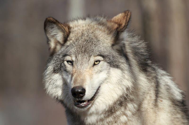Сторона волка стоковое изображение rf