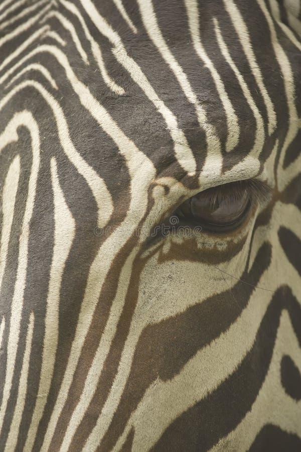 Сторона конца зебры Grevy вверх стоковое изображение rf
