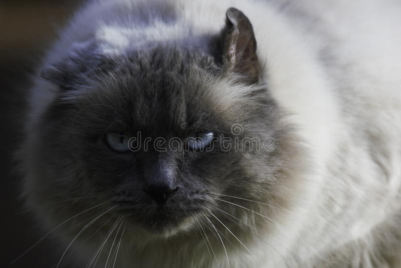 Сторона кота интенсивно вытаращиться пушистая Birman стоковое изображение rf