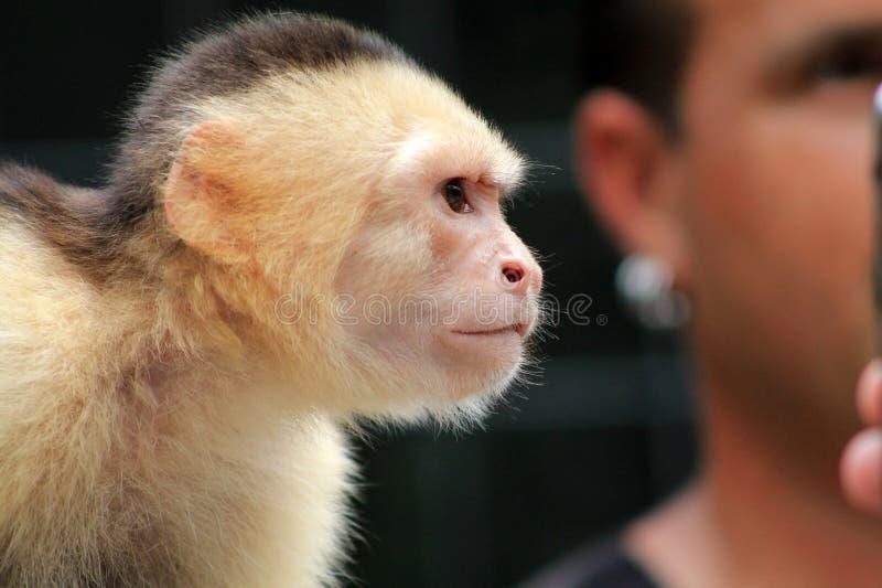 Сторона обезьяны любимчика стоковая фотография