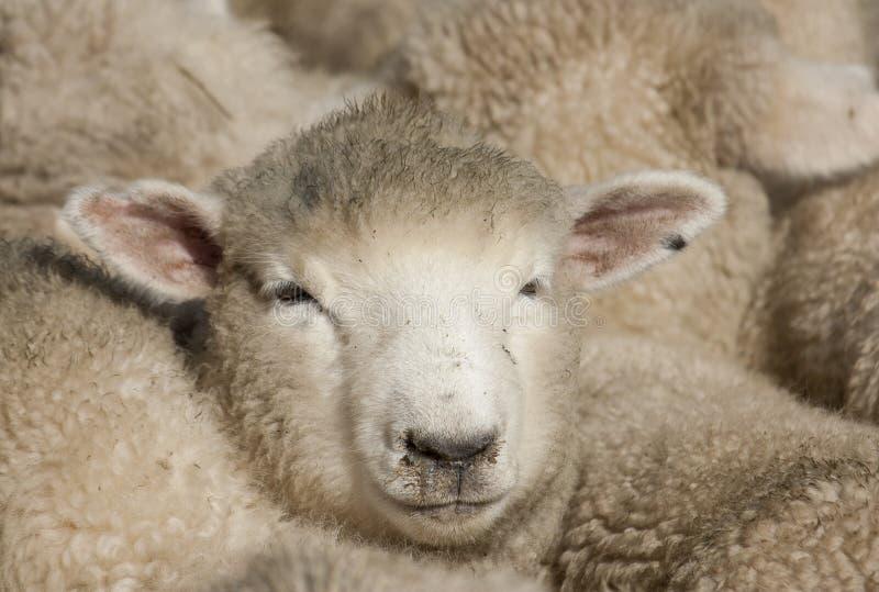 Download Сторона овец стоковое изображение. изображение насчитывающей группа - 40588451