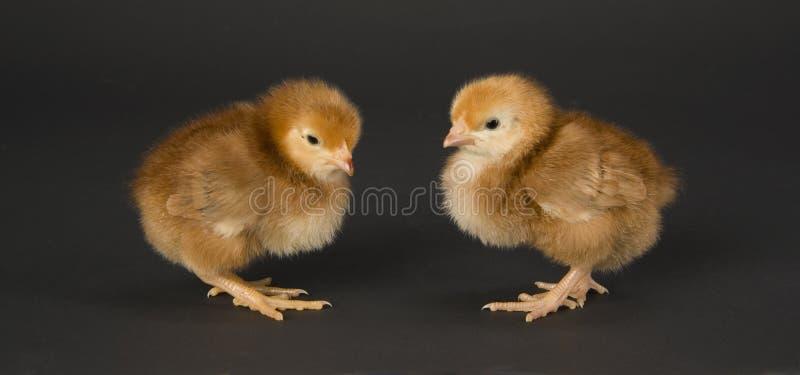 сторона пар цыпленка к стоковая фотография