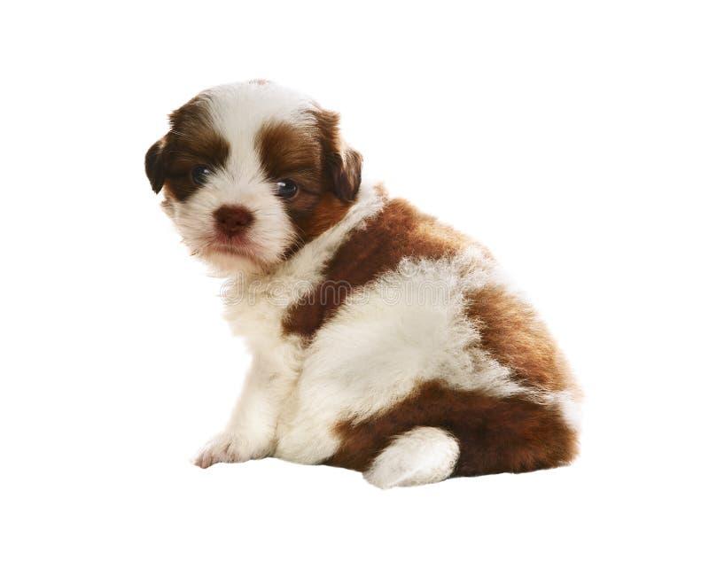 Сторона прелестного усаживания и наблюдать собаки родословной tzu shih младенца стоковое изображение rf