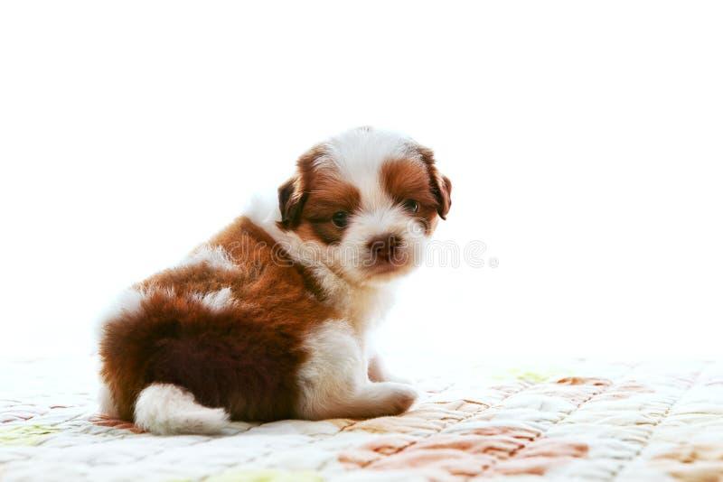 Сторона прелестной собаки родословной tzu shih младенца сидя и наблюдая к камере с визуальным контактом изолировала белую пользу п стоковые фото