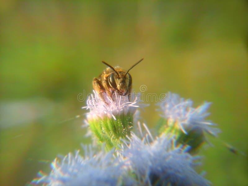 Сторона пчелы стоковое фото rf