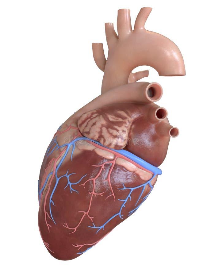 Сторона сердца бесплатная иллюстрация