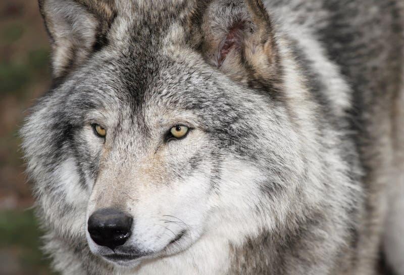 Сторона серого волка стоковые изображения rf