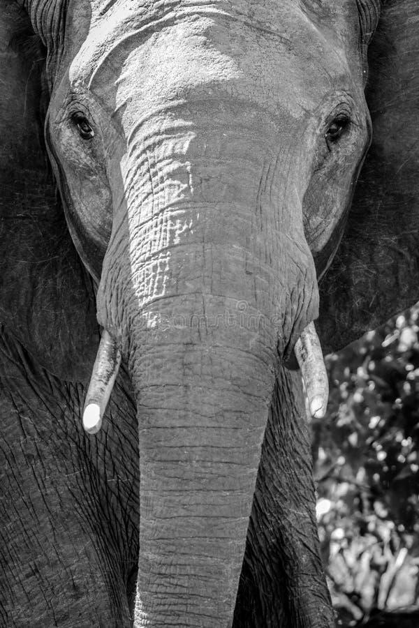 Сторона слона стоковая фотография rf