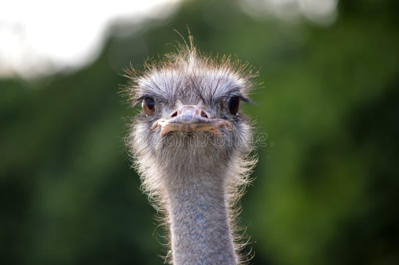 Сторона страуса стоковое фото
