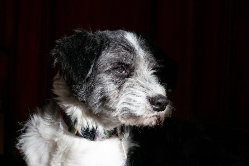 Сторона черно-белого портрета собаки бортовая стоковое изображение rf
