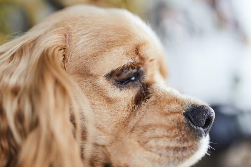 Сторона щенка Spaniel американского кокерспаниеля стоковая фотография rf