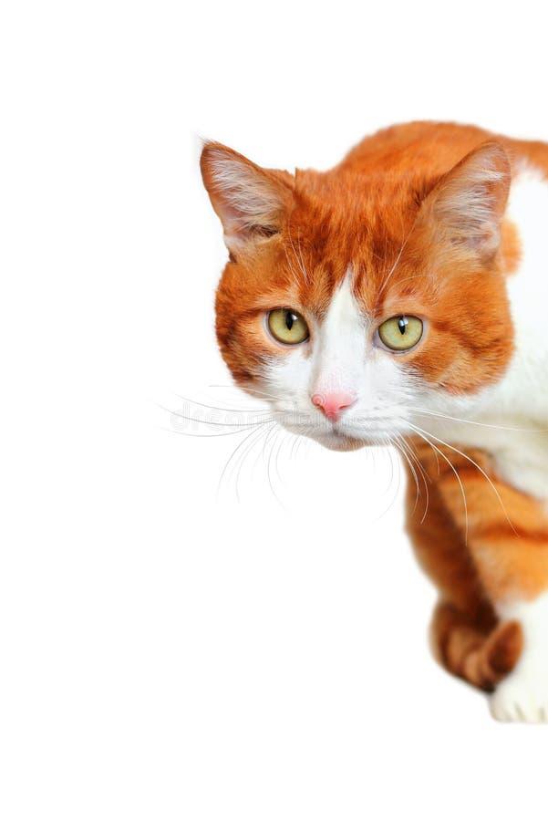 Сторона любознательного кота смотря прищурясь стоковое фото