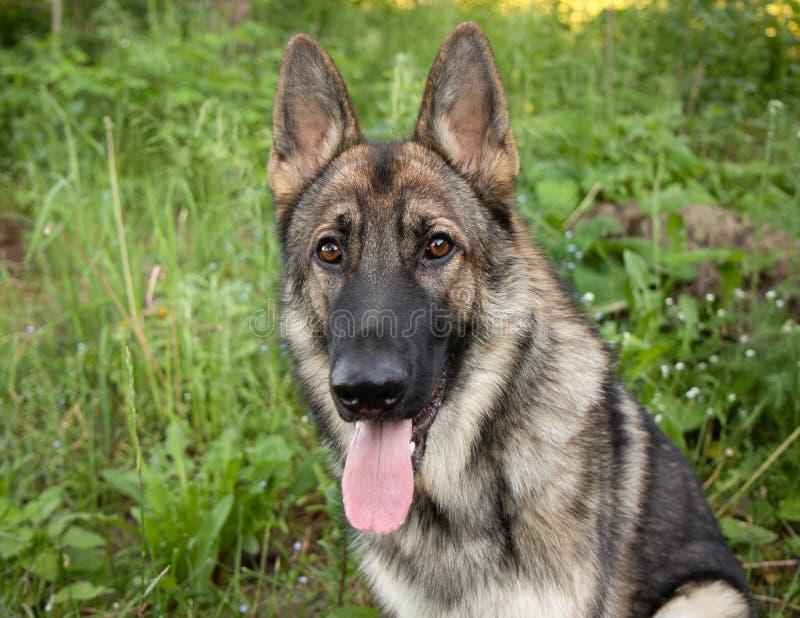 Сторона Outdoors портрета собаки немецкой овчарки соболя стоковое фото rf