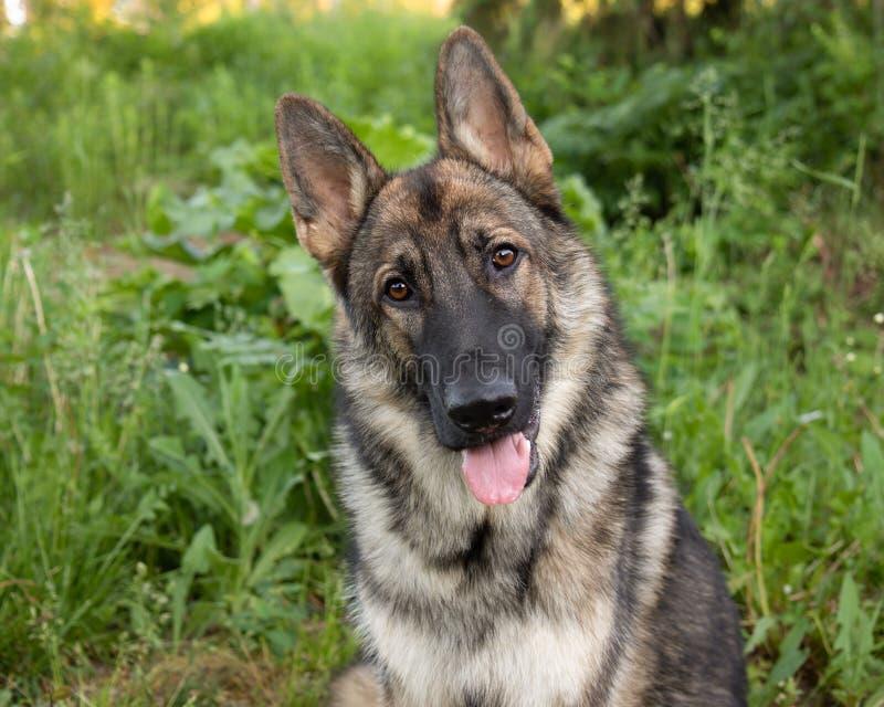 Сторона Outdoors портрета собаки немецкой овчарки соболя стоковые фото