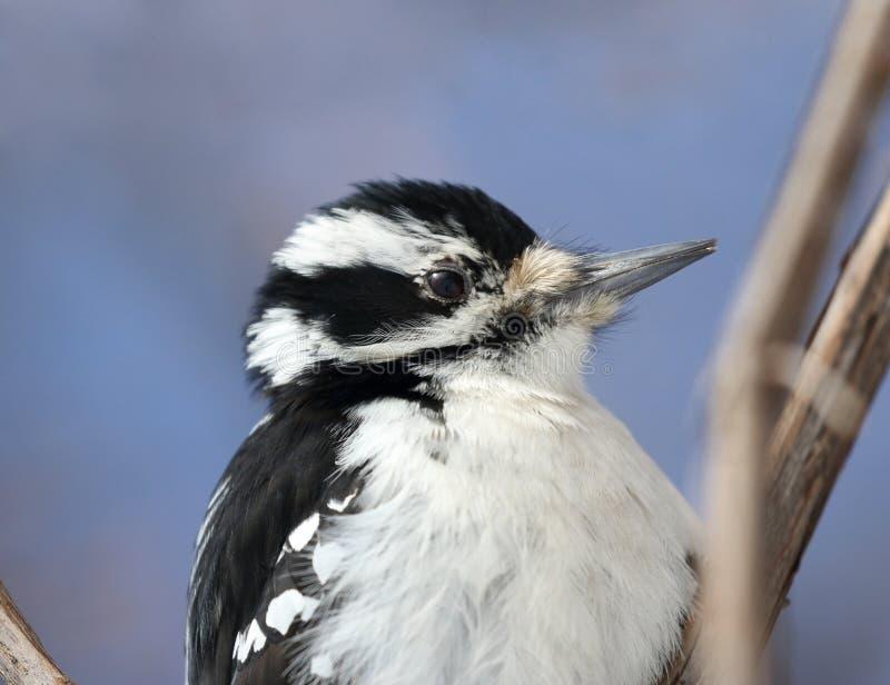 Сторона woodpecker в природе стоковое изображение rf