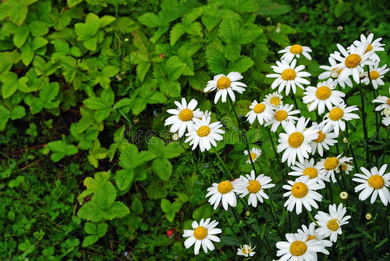 Стоцвет в саде стоковые изображения