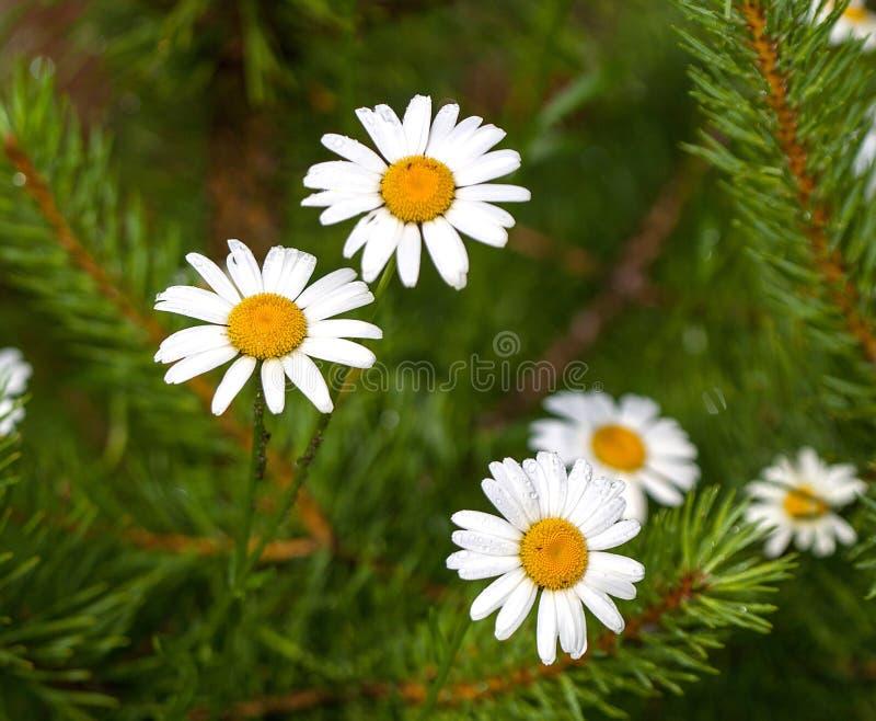 Стоцвет, конец-вверх, падения росы на белых лепестках стоковое изображение