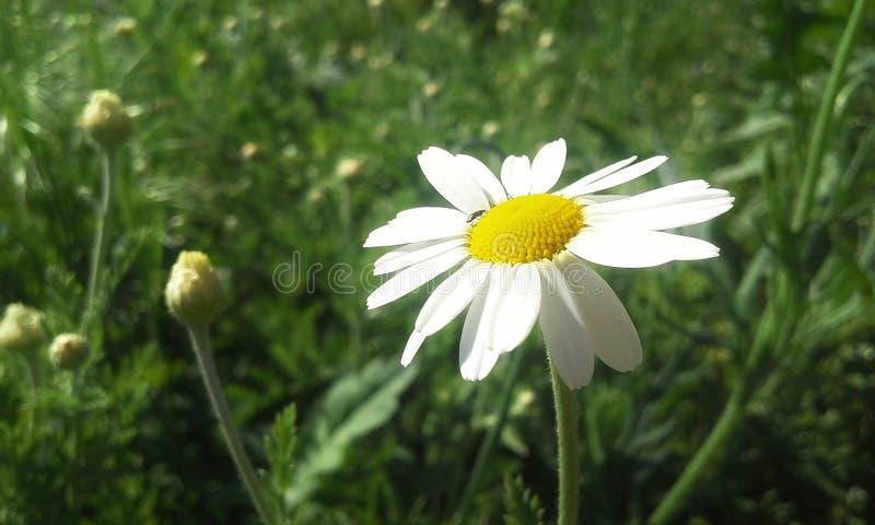 стоцвет одичалый стоковое фото