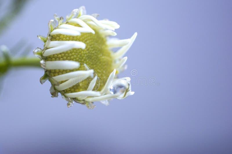 Стоцвет с падениями воды на белых лепестках : o стоковое изображение
